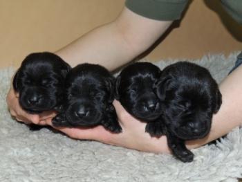 Die 4 der schwarzen Welpen im Alter von 4 Tagen.