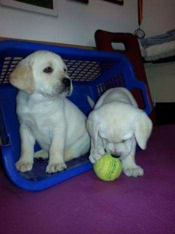 2 gelbe Hundekinderhen, (vergeben)