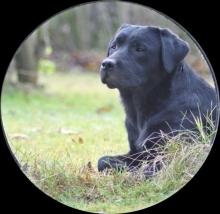 Labrador Hündin Thora von der Zauberschmiede