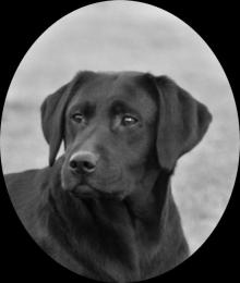 Labrador Hündin Tilly von der Zauberschmiede
