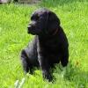Labradorwelpe Caruso, vergeben