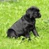 Labradorwelpe Carlo, sucht seine Familie