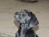 Labradorwelpe Carlos sucht eine Familie