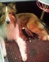 Lassie mit ihren 5 Colliekindern.