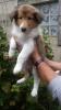 Sable Hündin am 25.07.2017, gut 6 Wochen alt. Carla