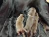 Labradorwelpen von Tilly und Avi, 1 Tag alt