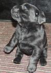 3,5 Wochen alt und über 2,5 kg schwer. Schwarzer Rüde bei Sprungversuch..