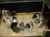 Alle 8 Hundebabies nach der Milchmahlzeit beim gemeinsamen Spiel.