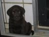 Gut 5 Wochen alt und schon ganz Labrador