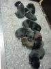 Labradorwelpen von unserer Tine